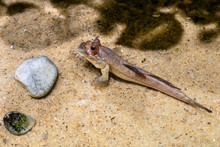 Single Atlantic Mudskipper Fis...