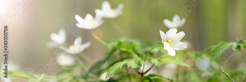 Photo Wood anemone in the forrest
