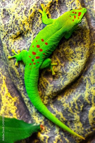 Photo Single Madagascar Giant Day Gecko - latin Phelsuma grandis - diurnal arboreal li