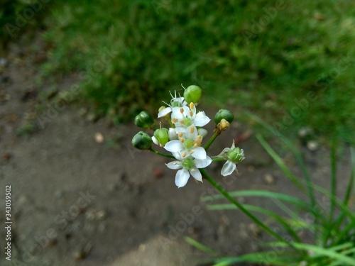 Photo Allium tuberosum (garlic chives, Oriental garlic, Asian chives, Chinese chives, Chinese leek, kecai, kucai) with natural background