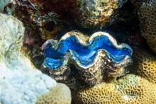 Giant Tridacna, Saltwater Clam...