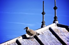Seagull On Roof Against Blue S...