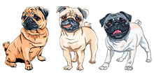 Vector Set Of Cute Dogs Fawn Pug Breed, The Most Common Colouring