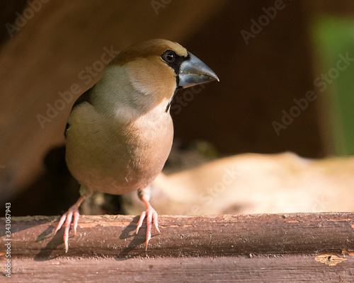 Hawfinch perched on a fence Canvas Print