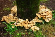 Bracket Fungus Surrounding A B...
