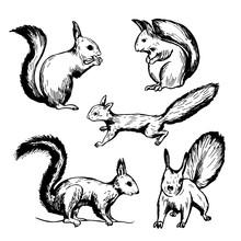 Hand Drawn Squirrel  On White Background. Vector Sketch Illustration.