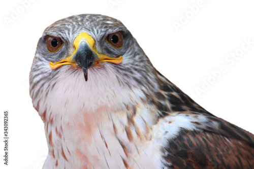 Photo two eyes of the hawk with the white background