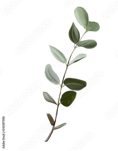 Fototapeta botanical illustration, a branch of eucalyptus obraz na płótnie