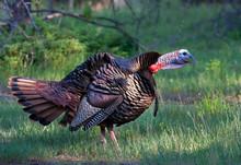 Eastern Wild Turkey Male Melea...