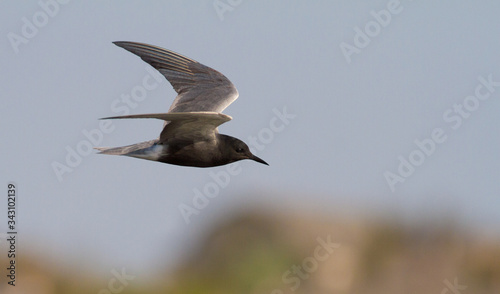Photo Black tern, Chlidonias niger. Bird in flight against the sky