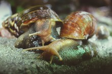 Close-up Of Snails Mating