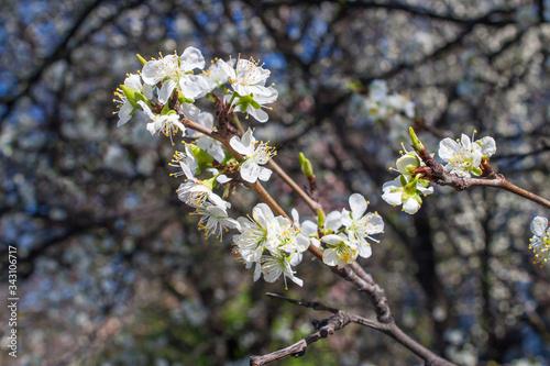 Prunus spinosa, called blackthorn or sloe Fototapet
