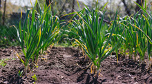 Garlic Planted In A Row On A G...