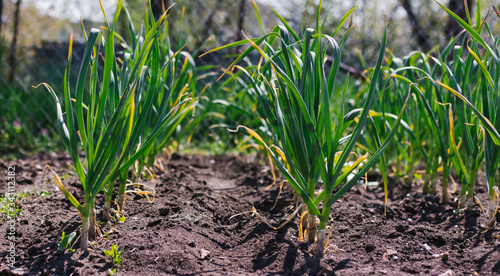Garlic planted in a row on a garden bed Canvas Print