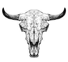 Bull / Cow / Aurochs Skull Wit...