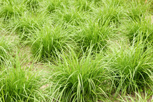 Earthnut Sedge In The Field, Nature Background, Earth Almond Plant Growing Outdoors On Bed In The Garden, Closeup, Copy Space. Vegan Food And Organic Agriculture Concept