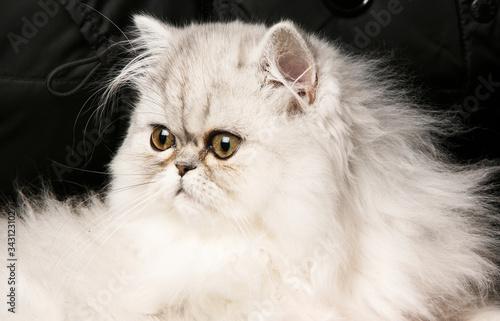 ritratto di bellissimo gatto persiano bianco isolato su sfondo nero Wallpaper Mural