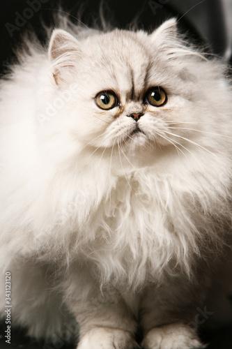 Photo ritratto di bellissimo gatto persiano bianco isolato su sfondo nero