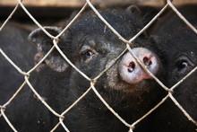 Black Mini Pig Behind The Fence