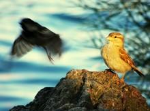 Sparrows On Rocks