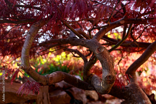 Red foliage of the weeping Laceleaf Japanese Maple tree, Acer palmatum in garden Canvas Print