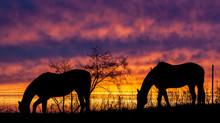 Silhouette Of Two Horses Grazi...