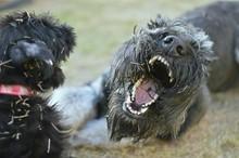 Close-up Of Irish Wolfhound An...