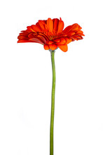 Side View Of Orange Gerbera Or African Daisy With A Green Stem, Isolated On White Background