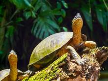 Tortuguero National Park, Limo...