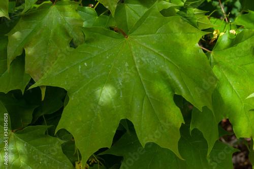 Photo maple leaves Acer platanoides javor mléč listy