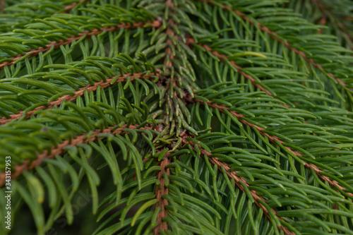 spruce branch in detail smrk ztepilý Picea abies Canvas Print