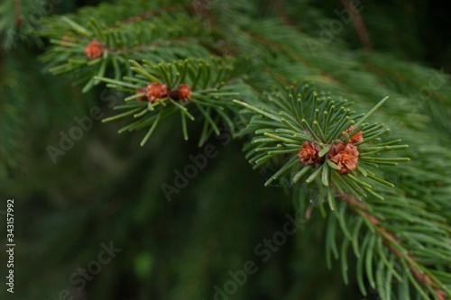 Photo spruce branch in detail smrk ztepilý Picea abies