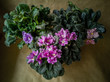 Senpolia, commonly known as the African violet. As a rule, the African violet is a common house houseplant. Violets in a pot