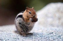 Squirrel Close Up In Yosemite ...