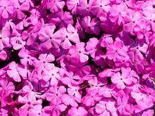 (Phlox Subulata) Phlox Rampant Formant Un élégant Tapis De Fleurs étoilées Rose