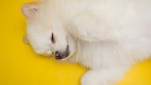 .White Pomeranian Dog Sleeping