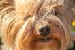 Młody pies york zbliżenie