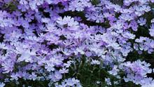 Phlox Subulata | Phlox Rampant Ou Phlox Subulé Aux Abondantes Fleurs à Pétales De Couleur Bleu Clair Teinté De Rose