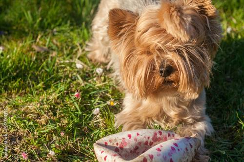 Obraz Młody pies york zbliżenie - fototapety do salonu