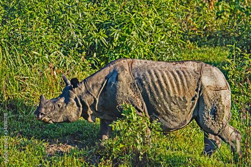 One horned Rhino in the Kaziranga wildlife reserve in Assam, India Canvas Print