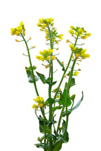 Blooming Rapeseed Isolated On ...