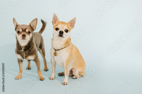 2 Chihuahuas on a blue background looking at the camera © Mari