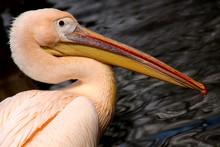 Pelican's Profile