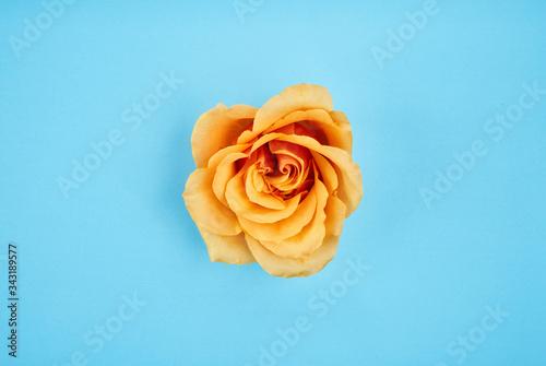 Fotografia yellow rose on blue background