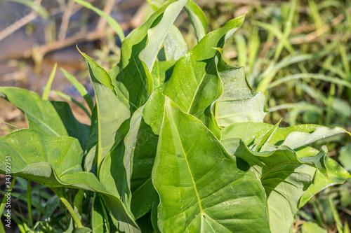 Photo Broadleaf arrowhead plant closeup