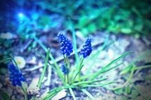 Niebieski Dzwonkowy Kwiat Wiosny