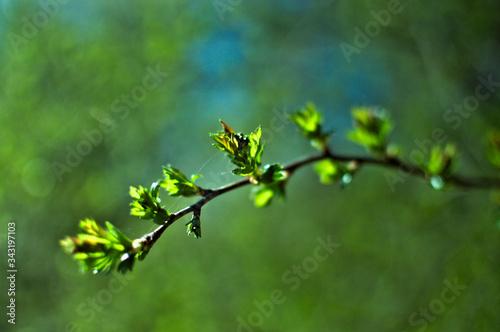 Kwitnąca gałązka drzewa, pąki liści, wiosna. Fototapeta