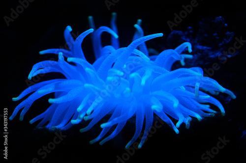 Canvas-taulu An luminous blue sea anemone