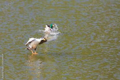 A wild duck lands on the pond in the water. Canvas Print