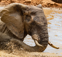 African Elephant Cooling Off In South Africa